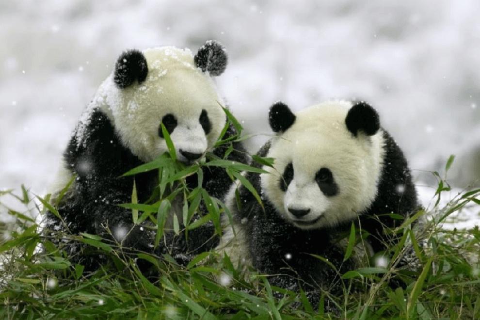 الباندا العملاقة The Giant Pand