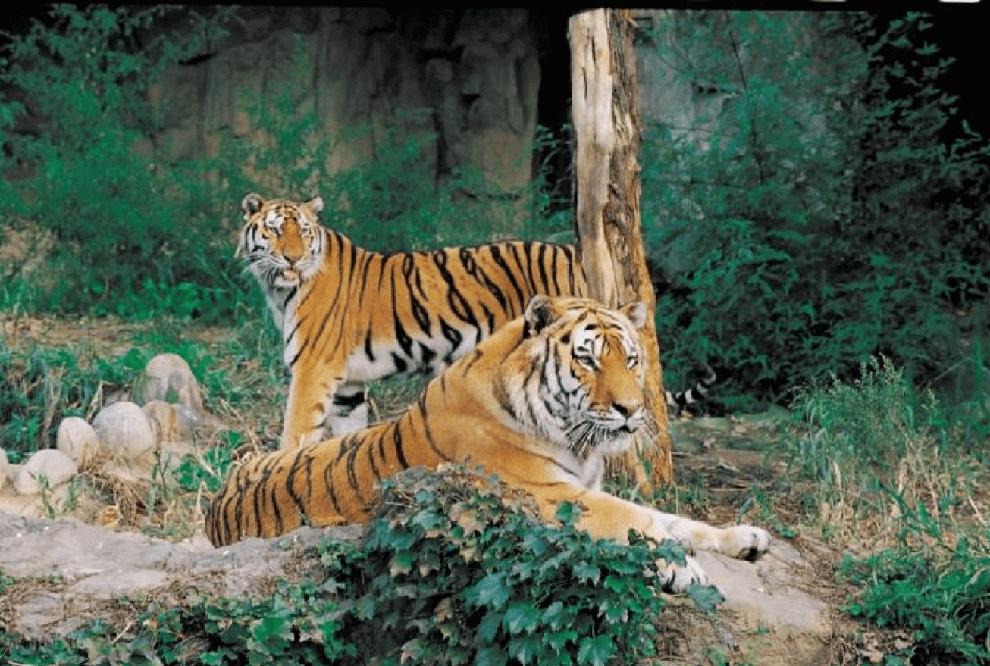 نمور التاميل Tiger