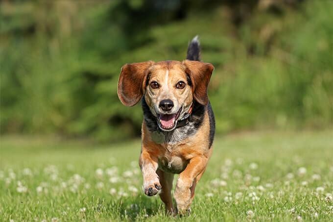 كلاب الصّيد beagles